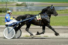 Swedish Coldblood Trotter stallion Järvsöfaks. Called Svensk Kallblodstravare in Swedish the SKT has been developed by crossing the native coldblood breeds (North Swedish, Døle) with lighter and faster breeds. There is also a Norwegian Coldblood Trotter studbook in Norway. Coldblood trotters (Swedish, Norwegian and Finnhorse) are used for harness racing mostly in Scandinavia.