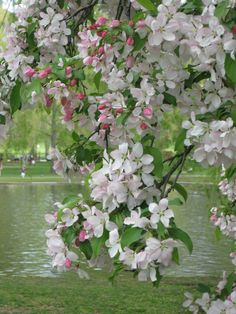Apple blossoms -- brings back so many happy memories!