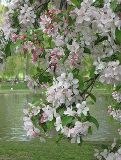 Apple Blossoms!