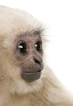 Walli the White-Cheeked Gibbon, 5 months old, Schwerin Zoo (photo:Life On White) via zooborns