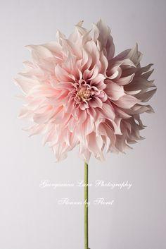 Georgianna Lane Photography, Cafe au Lait dahlia from Floret Flower Farm. Like ruffled, fairy petticoats!