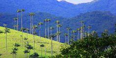 La explotación minera pondrá en riesgo el valle del Cocora, donde crece la palma de cera.