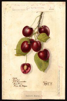 Дебора Гриском Пассмор (1840-1911) был ботаническим иллюстратором для Министерства сельского хозяйства США, который специализируется на картинах фруктов.