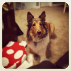 This is almost exactly my childhood dog! German shepherd collie mix!