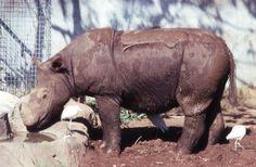 Sumatran Rhinoceros   Sumatran Rhino