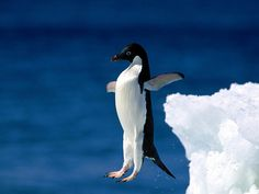 Penguin try to fly (by Sachin Tomar's)