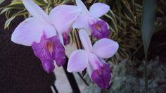orquidea de  chão lilás