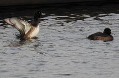 Kuifeend vrouwtje schudt het water uit de veren. Kuifeend