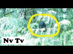 VERY BRAVE!! GUY FILMS REAL BIGFOOT SIGHTING!! CAUGHT ON VIDEO!! - USA (2012) - HD