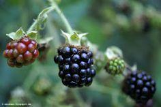 Brombeeren | Blackberries