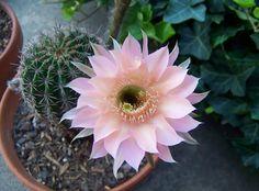 El blog de Los Peñotes: Plantas de coleccionismo: los Cactus.