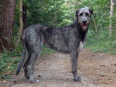 Ierse wolfshond