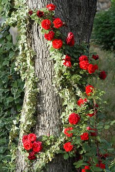 Climbing roses on a tree! Why haven't I thought of this?Climbing roses on a tree! Why haven't I thought of this? Beautiful Roses, Beautiful Gardens, Trees Beautiful, Planter Rosier, Colorful Roses, Climbing Roses, My Secret Garden, Dream Garden, Pretty Flowers