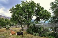 Cows relax under trees after grazing freely in the fields near lake bafa.