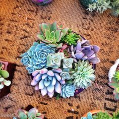 Succulents at the Little Italy Markets in San Diego California www.instagram.com/SweetDivergence #travelphotography
