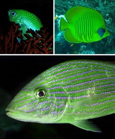 In contrast to insects that have embraced the color green while living in a verdant world of plant life, animals of the oceans, lakes and rivers are usually tinted anything but green. The examples of green marine life above owe much to ambient lighting conditions for their bilious hues.