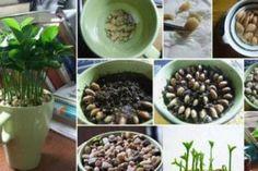 far-crescere-albero-limoni-tazza
