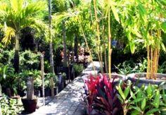 Tropical garden design ideas - use bamboo as a hardy tropical garden plant