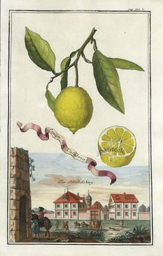 Limon da Calabria - J. C. Volckamer - Antique botanical citrus illustration.