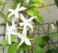 Jasminum azoricum, Jazmín de las Azores, Jazmín azórico