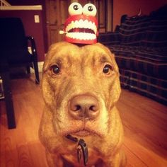 Let's Laugh  This Rescued Pit Bull Called Scout Is The Most Patient Dog Ever • Page 5 of 6 • BoredBug