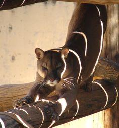 leopardo Panther, Animals, Animales, Animaux, Animal, Animais