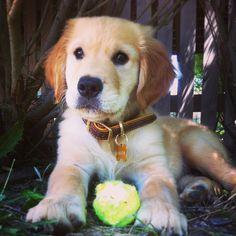 Kingston, the cutest golden retriever puppy !