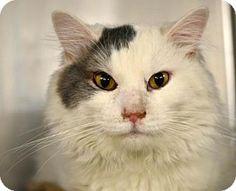 06/22/16 SL~~~URGENT! Kill Shelter! Domestic Mediumhair Cat for adoption in Philadelphia, Pennsylvania - Leroy (foster care)