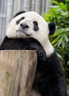 'Epic Panda with hammer' by Rhoar Panda Bebe, Cute Panda, Panda Panda, Cute Baby Animals, Animals And Pets, Wild Animals, Beautiful Creatures, Animals Beautiful, Baby Panda Bears