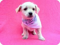 Burbank, CA - Dachshund/Chihuahua Mix. Meet Dakota, a puppy for adoption. http://www.adoptapet.com/pet/14682213-burbank-california-dachshund-mix