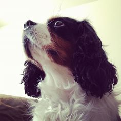 """This is """"Lela"""" our six year old King Charles Cavalier. Lela has lived at Avalon Fort Greene for just over a year.    Lela is among the friendliest and most outgoing of Avalon residents, both man or beast. She is always goes out of her way to say hello, no matter how busy she is!"""