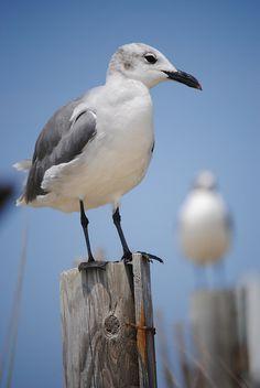 gulls @Carolina Krupinska Krupinska Beach, USA
