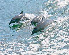 Dolphins Banderas Bay http://www.sanpanchorentals.com/index.html