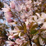 Amelanchier Grandiflora Robin Hill Tree