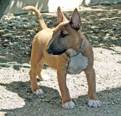Bull Terrier Puppies on Miniature Bull Terriers Frodo