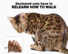 Declawed cats have to relearn how to walk just like a person who had their toes cut off. Do you want YOUR toes cut off? NEITHER DO CATS! http://www.peta.org/living/companion-animals/8-reasons-why-you-should-never-declaw-your-cats.aspx