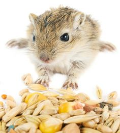 a hamster s diet nutrition and food Find out in our introduction to hamster food the hamster  it's easy to provide a healthy diet for your hamster but one thing it's very important to.