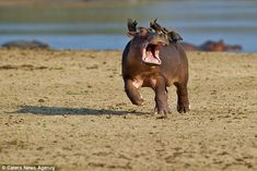 The hippo began running for the water in an effort to scare off the birds which were in no hurry to leave