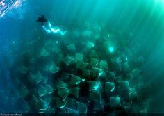 Amazing Underwater Encounter with Mobula Rays