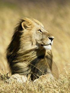 Male African Lion resting in Savannah Grasses,Masai Mara Game Reserve