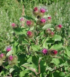 Picture of Burdock Plant
