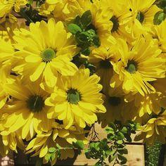 Todellinen silmänilo! Raikkaan keltaiset gerberat vihreällä keskustalla ja heleän vihreät hiirenkorvaiset oksat muodostavat aivan hurjan kauniin väriyhdistelmän. Keväinen aurinko keittiönpöydällä   #gerbera #kukka #kukkakimppu #flowers #flowerstagram #instaflower #yellow #green #keltainen #vihreä #kukkia #kevät 1.5.2016