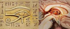 The similarities are not just uncanny – they are exact. Yet this is viewed as nothing more than a coincidence, because in modern thinking it is assumed that the Egyptians could not have had this knowledge.The Eye of Horus was also broken into six basic components, each representing a different sense; smell, touch, taste, hearing, sight and thought. The thalamus is the part of the human brain which translates all incoming signals from our senses. Could the symbolism of this be any clearer?