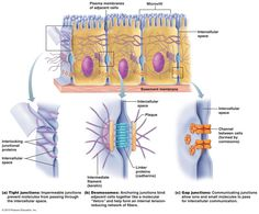 Cell Junction, Tight Junction, Plasma Membrane, Cell Membrane, Cell Biology, Molecular Biology, Human Cell Structure, Science, School