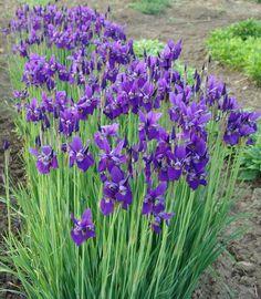 'Caesars Brother' Siberian Iris
