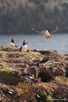 Seeing puffins in Elliston, Canada is unlike anything I've ever experienced. I highly recommend taking a trip here when visiting Newfoundland! Newfoundland Canada, Newfoundland And Labrador, Alberta Canada, Ottawa, Quebec, Ontario, Road Trip, Atlantic Canada, Canada Travel
