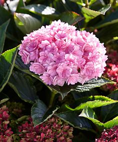 Hortensia 'Together Pink' Hortensia Hydrangea, Flowers, Plants, Pink, Flora, Royal Icing Flowers, Pink Hair, Floral, Plant