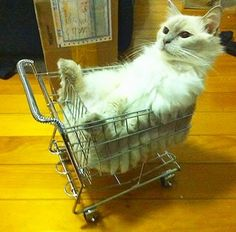 😻🐾😸#cat#cat_features #cutecat #cute #shopping #car#kitty #meow #crazycatlady #comfortable #instacat #follow4follow #funnypictures #excellent_cats #animal #pet #catlover #catlife #chat #selfie #catoftheday #instadaily #instagood #photooftheday 😸🐾😻
