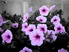 Black And White Purple Flowers