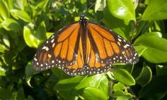 More Americans are helping the butterfly population with summer butterfly gardens. Now that's Mindful Living!